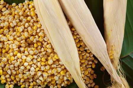 ワクシー・コーンゼアはセラティナをかもしれない。 緑の背景にトウモロコシの種子のテクスチャ。 写真素材 - 94728895
