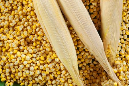 ワクシー・コーンゼアはセラティナをかもしれない。 トウモロコシの種子のテクスチャ。 写真素材 - 94720846