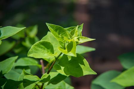natue: Green leaf.