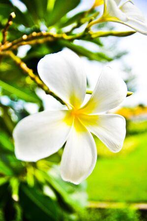 Desert Rose Flowers. photo