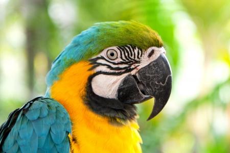 loro: Primer plano de un colorido loro guacamayo Ara