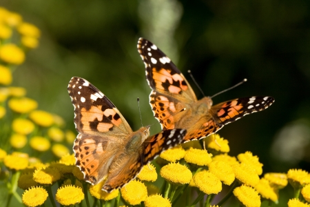 finland: Two Araschnia Levana butterflies on some yellow flowers  Stock Photo