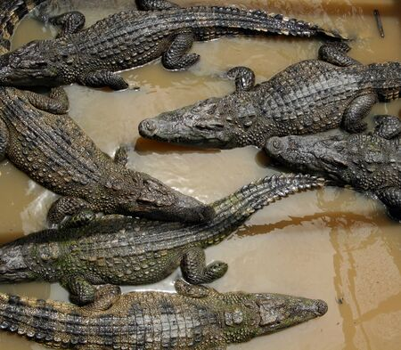 Crocodiles at a farm at the floating village at Tonle Sap Lake, Cambodia  photo