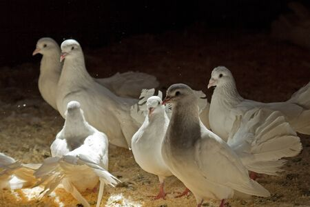 corral: Several white pigeons in a corral