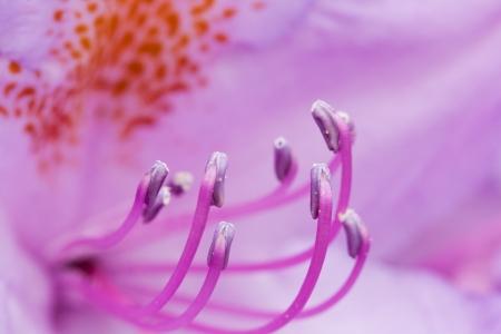 pistils: Closeup of a purple flower s pistils
