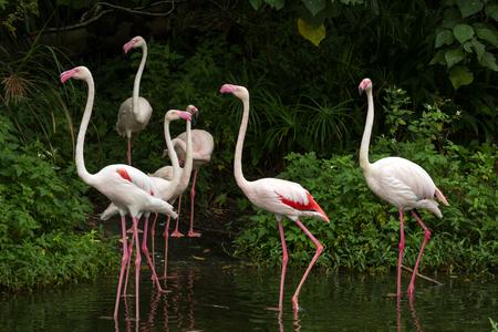 phoenicopterus: Flock of Greater Flamingos  Phoenicopterus roseus  wading in water