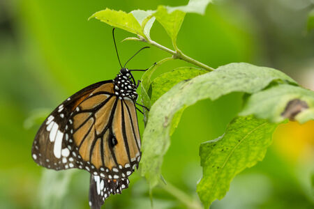 danaus: Closeup of a Common Tiger  Danaus genutia  butterfly on a leaf