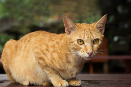 felis silvestris catus: Closeup of a yellow domestic cat sitting on a table staring at camera