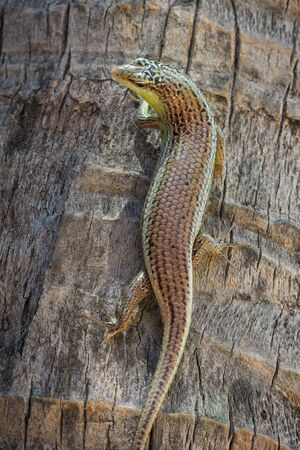 Closeup of a viviparous lizard  or common lizard, Zootoca vivipara  climbing up a palm tree photo