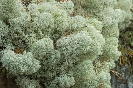 mounds: Closeup of mounds of Startipped Reindeer Lichen Cladina stellaris Stock Photo