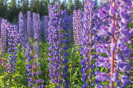 lupines: Close-up of lupine flowers at a meadow full of lupines Stock Photo