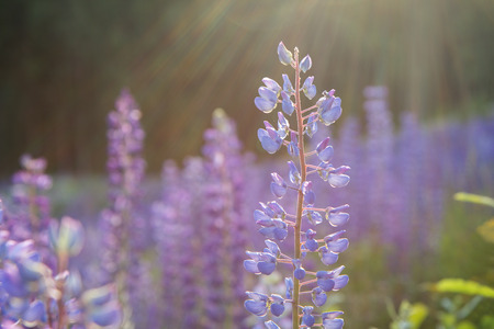 iluminado a contraluz: Sunshine and close-up of a lupine flower at a meadow full of lupines Foto de archivo