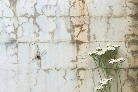 cracked concrete: White flowers in front of a cracked and weathered concrete wall