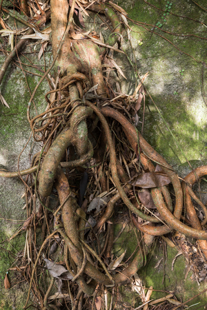 tied up: Trees and climbers thick and thin roots tied up against a rock. Stock Photo
