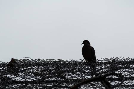 chainlink fence: Silhouette of a pigeon or a dove on a chain-link fence in black&white. Copy space.