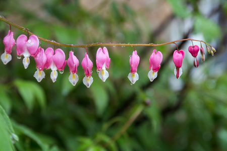 Close-up of wet Dicentra spectabilis flowers (or Lamprocapnos spectabilis, also known as bleeding heart or Asian bleeding-heart). Stock Photo