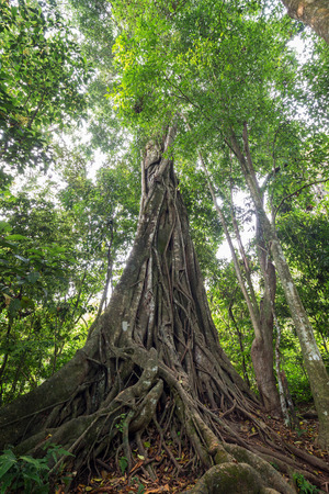 Large evergreen council tree (ficus altissima) in Laos. Its a species of flowering plant, a fig tree in the family Moraceae, native to Southeast Asia.