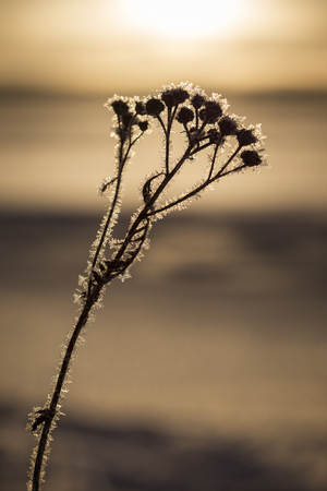 Close-up silhouette of a frosty plant on a sunny day in the winter. Blurred background.