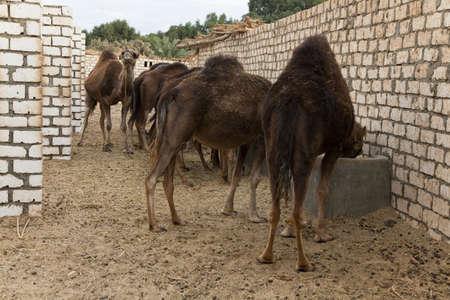 dromedaries: Dromedaries eating in the stable aat bahariya oasis, Egypt Stock Photo