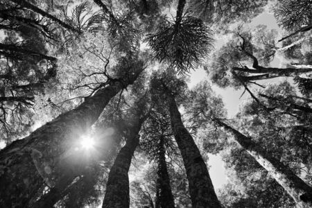 Inside and araucaria forest at Conguillio national park, Chile photo