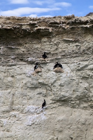 phalacrocoracidae: Group of cormorants at a cliff near Puerto Madryn