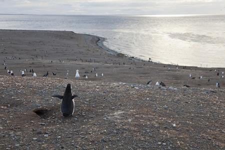 Ping�ino de Magallanes contemplando el panorama en la Isla Magdalena, Chile Foto de archivo - 16958206