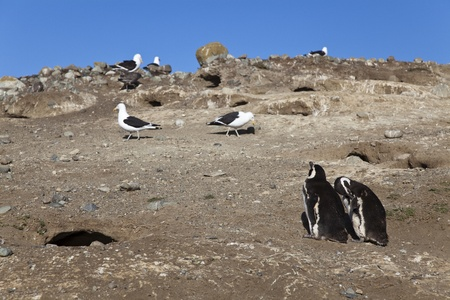 punta arenas: Couple of magellanic penguins and some seagulls at magdalena island  Chile  Stock Photo