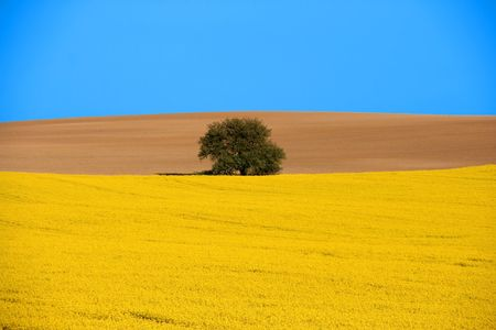 Spring landscape. Blooming canola field, bare brown field and a lone tree with blue sky. Stock Photo