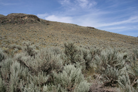 sagebrush: Steppe near Kamloops city in Canada (British Columbia). Sagebrush (artemisia tridentata).