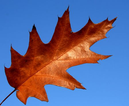 quercus: Northern red oak (Quercus rubra) - autumn leaf against blue sky.