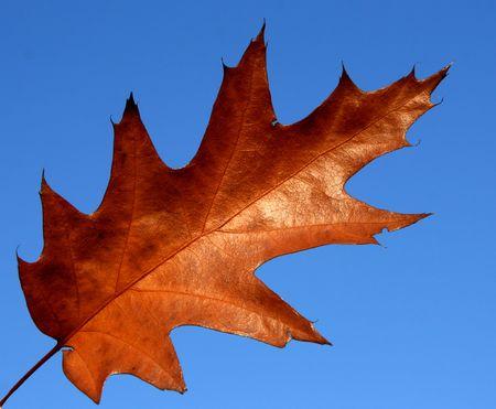 Northern red oak (Quercus rubra) - autumn leaf against blue sky.