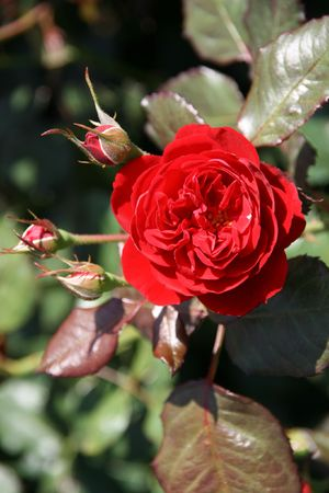variant: Beautiful red rose variant: Polyantharose Mariandel, Kordes 1985. Bern Rose Garden.