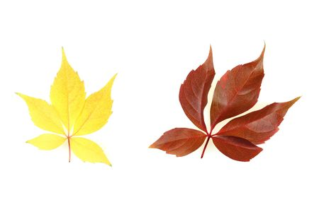 Autumn - colorful October tree leaves. Isolated yellow and red vine leaves. Stock Photo - 3658462