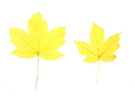 Autumn - colorful October tree leaves. Isolated yellow maple leaves. Stock Photo - 3672803
