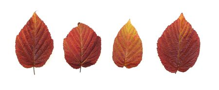 Autumn - colorful October tree leaves. Isolated red raspberry bush leaves. Stock Photo - 3672802