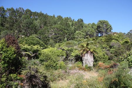 bushes: New Zealand native bush forest. Green hill at Coromandel peninsula. Among others, punga endemic tree ferns.