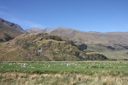 aspiring: Mountains and sheep in Mount Aspiring National Park, New Zealand