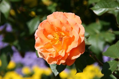 variant: Beautiful tea rose variant: Stammrose, Doris Tystermann. Bern Rose Garden.