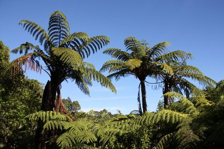 New Zealand native bush forest. Green hill at Coromandel peninsula. Punga endemic tree ferns. photo