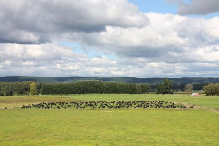Green pasture on plains of Waikato region, New Zealand. Cattle herd. photo