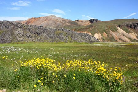 felsic: Iceland. Beautiful mountains and yellow flowers. Famous volcanic area with rhyolite rocks - Landmannalaugar.