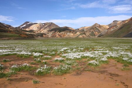 felsic: Iceland. Beautiful mountains and white cottongrass flowers. Famous volcanic area with rhyolite rocks - Landmannalaugar.