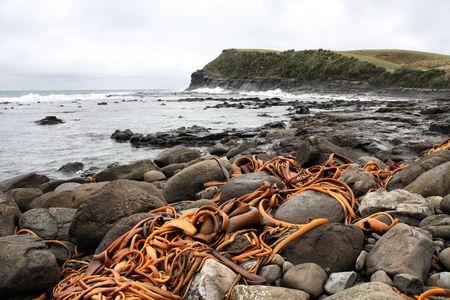 curio: New Zealand. Catlins part of Southland region. Bull kelp on the rocky coast of Curio Bay.