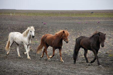 island�s: Islandia caballos en un d�a sombr�o. Caballo blanco, marr�n y negro.