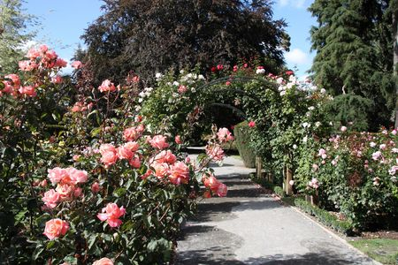 Christchurch Botanic Gardens (New Zealand). Rose garden. Stock Photo