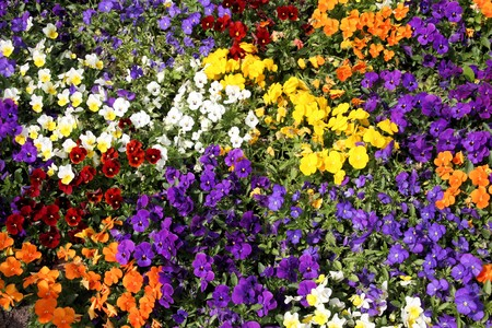 Colorful pansy flower background. Beautiful pansies in a flower bed. Stock Photo - 7313213