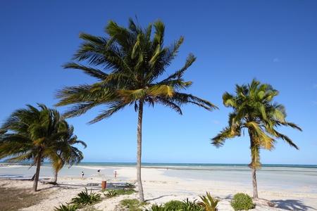 Cuba - Caribbean beach Cayo Guillermo. Sandy coast nad coconut palm trees. Jardines del Rey region. photo