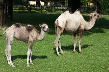 zoological: Bactrian camels - young and adult. Animals in Silesian Zoological Garden in Chorzow, Poland.