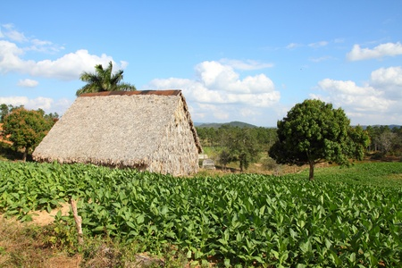 thatched: Cuba - tobacco plantation and thatched rural huts in Vinales National Park.