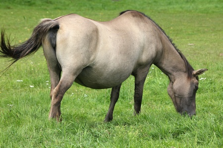 Bialowieza - national park in Poland. Pregnant mare of konik, small breed of Polish semi-wild horses. photo